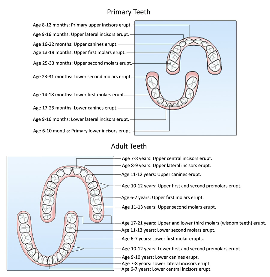 tooth eruption graphic